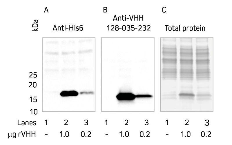 Western blot comparing detection of target protein in E. coli lysate