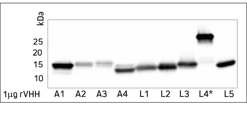 Western blot of different rVHH domain antibodies