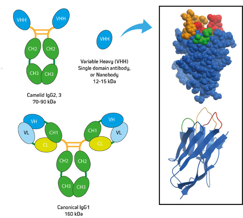 Camelid Immunoglobulin Subclasses and Crystal Structure