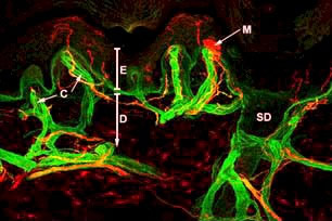 Confocal image of human skin innervation
