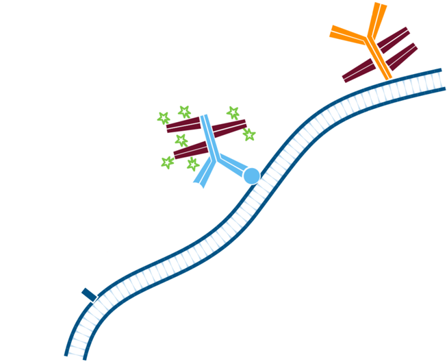 Use of FabuLight - labeled primaries for two antigens on tissue: step four.