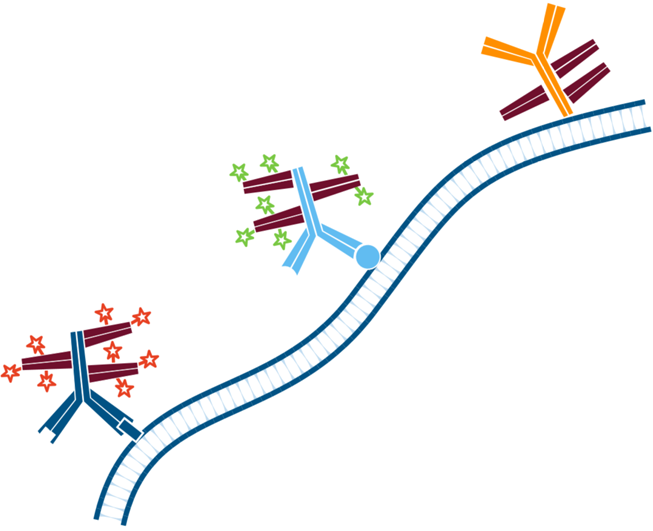 Use of FabuLight - labeled primaries for two antigens on tissue: step five.