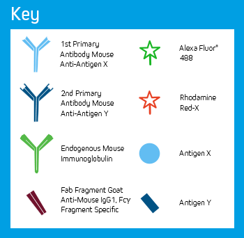 Use of FabuLight - labeled primaries for two antigens on tissue: Key of Elements.