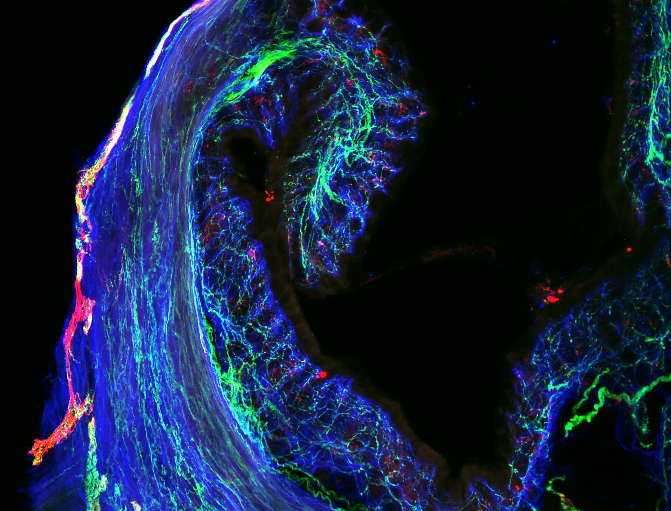 Mouse Colon Nerve Fibers