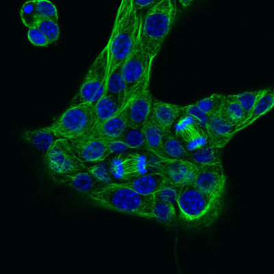 Mouse Mammery Gland