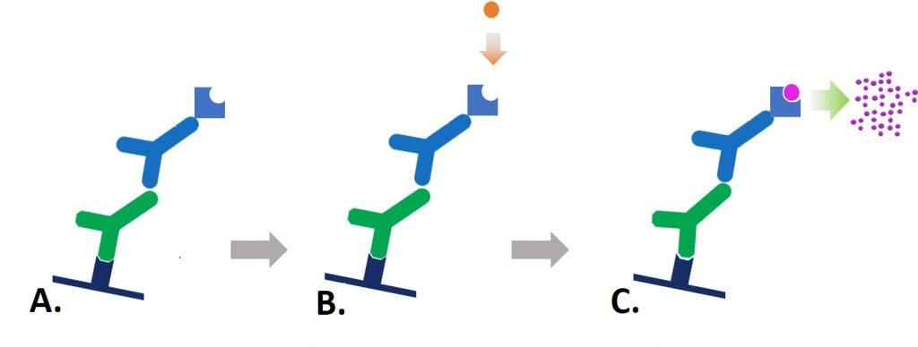 Colorimetric conjugates
