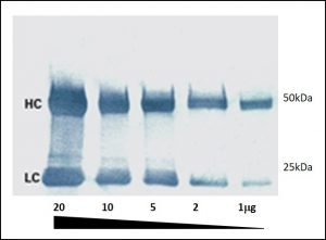 Colorimetric Western blot