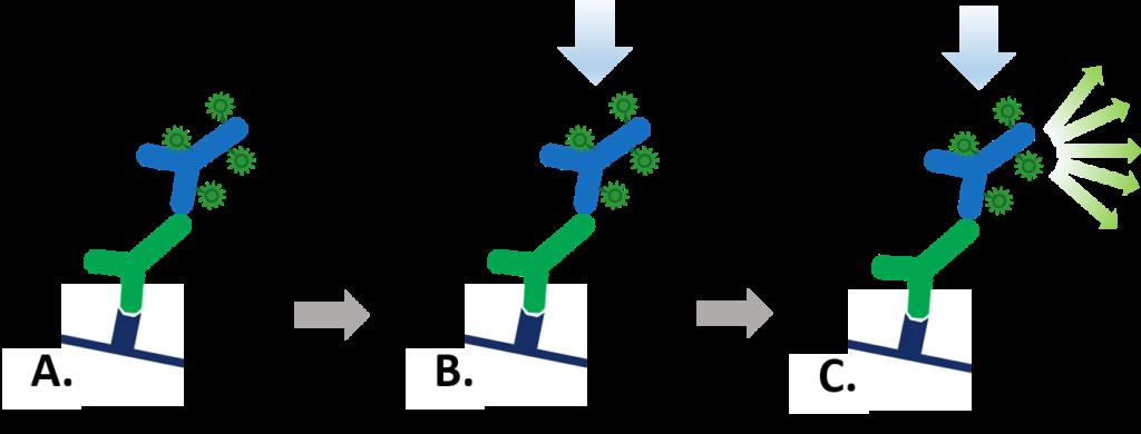 Fluorescent Western blotting
